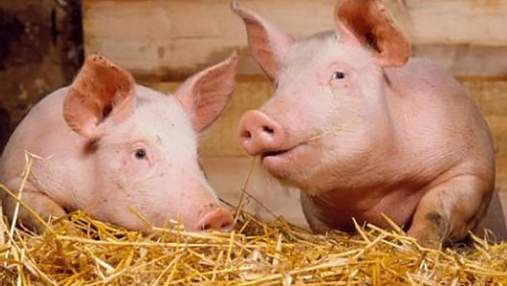 Во Львовской области зафиксировали вспышку африканской чумы свиней