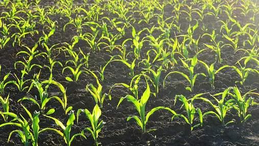 На Чернігівщині фермер вирощує кукурудзу на землі з пам'ятками вартістю 2 мільярди гривень
