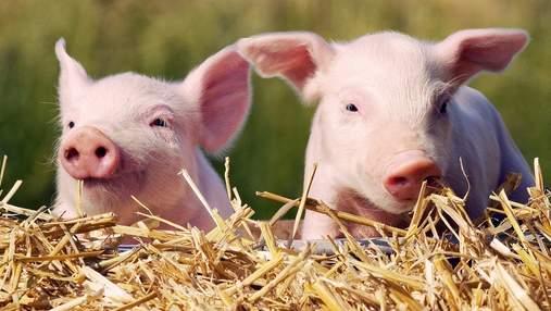 У 3 областях України зафіксували спалах африканської чуми свиней