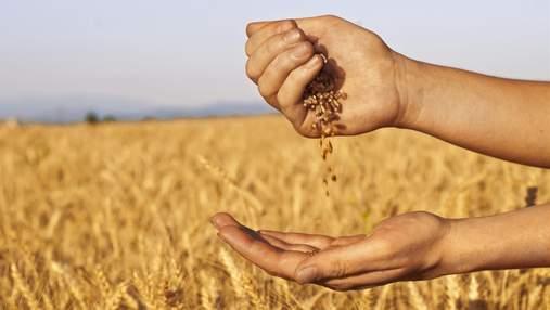 Якість зерна: вчені винайшли унікальний спосіб швидкої перевірки