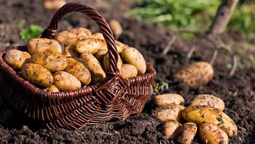 Польша нарастила урожай картофеля