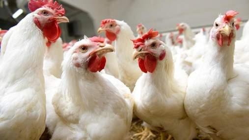 Птичий грипп: импорт украинской курятины существенно ограничено