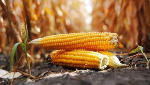 Чому виросте ціна на українську кукурудзу: пояснення