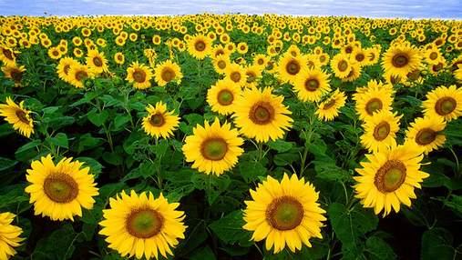 Урожайність соняшнику: як впливає густота посівів