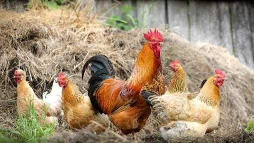 Птичий грипп: в России произошел первый в мире случай заражения человека