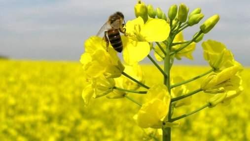 Ефективний захист і прибавка врожаю: Піктор® – найкращий фунгіцид для ріпаку в період цвітіння