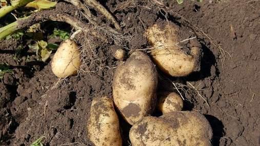 100-тонна Княгиня: український сорт картоплі показує рекордну врожайність