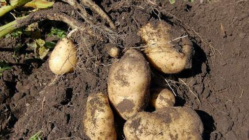 100-тонная Княгиня: украинский сорт картофеля показывает рекордную урожайность