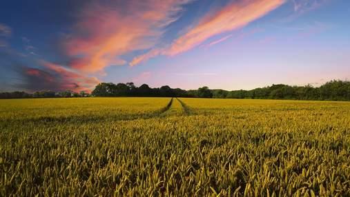 Добрива з батарейок: в Австралії зібрали перший унікальний врожай пшениці