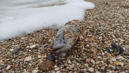 Масова загибель бичка в Азовському морі: вчені підозрюють паразитів