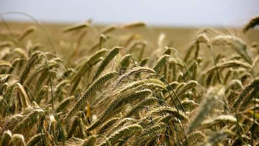 Українська пшениця падає в ціні: причини