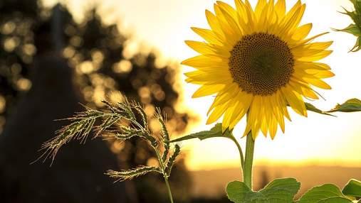 Україна експортує майже всю свою соняшникову олію
