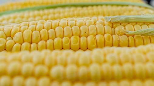Экспорт кукурузы: кто ключевой покупатель украинского продукта