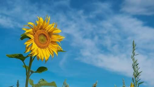 Мінекономіки хоче заборонити експорт соняшника: як урядовці аргументують рішення
