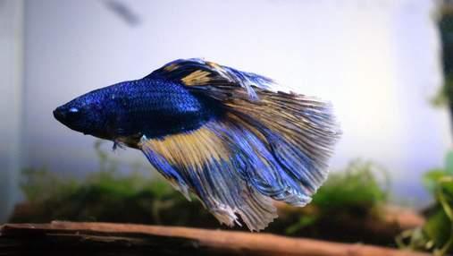 Як спить риба бетта і чи можете ви допомогти їй відпочити: поради ветеринара