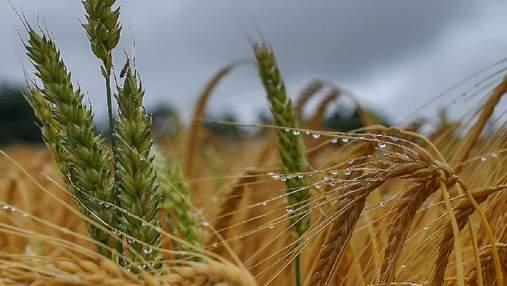 Урожай зерновых-2021: Украина может побить исторический рекорд