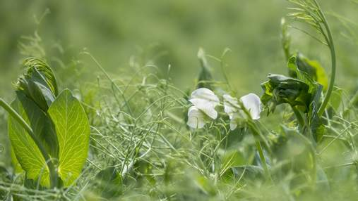 Як зробити з бур'янів гербарій: чисті поля з препаратом Корум®