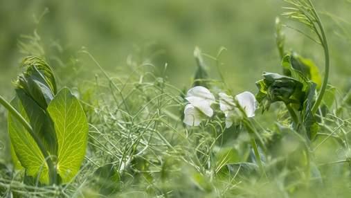 Как сделать из сорняков гербарий: чистые поля с препаратом Корум®