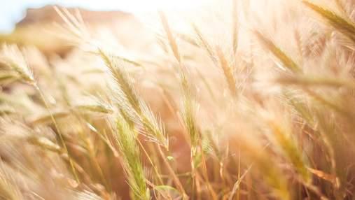 В Украине уменьшился урожай пшеницы