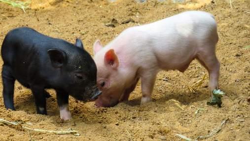 Україна заборонила імпорт свиней з ЄС: причина та як це вплине на ціну