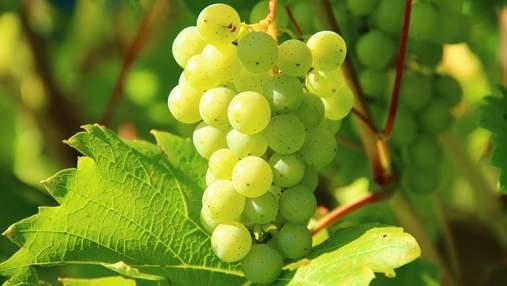 Незабаром зберуть урожай першого органічного винограду