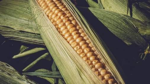 Урожаю кукурузы в Украине пророчат рекорд