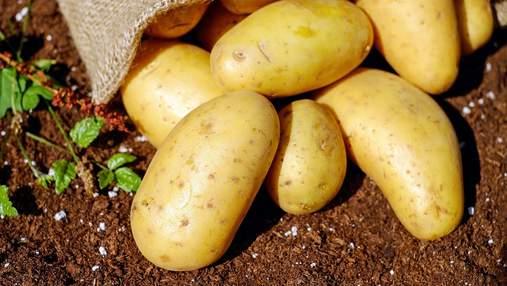 Картофель будет дорогим: импортная продукция дешевле временно