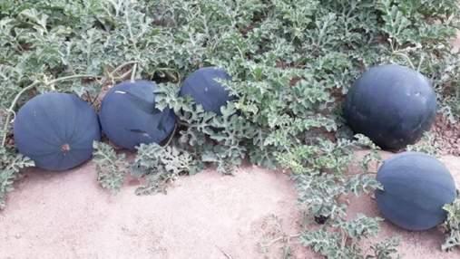 Черные арбузы: на рынках Узбекистана появилась новинка