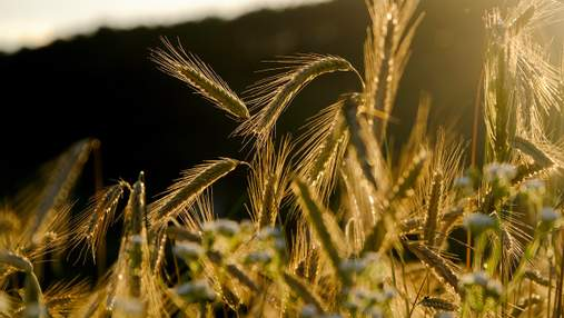 Україна суттєво скоротила експорт зерна