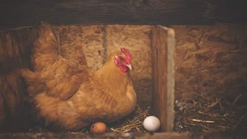 В ЄС заборонять тримати фермерських тварин у клітках