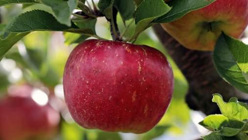 Ціни на яблуко будуть невисокими, –прогноз виробника
