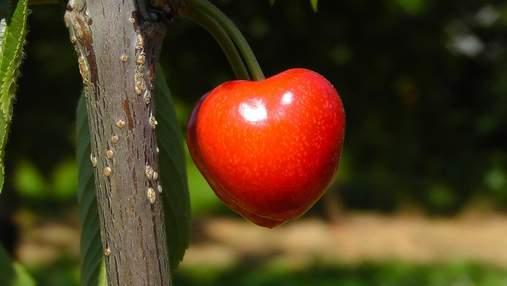 Дефіцит черешні: чому зменшилася урожайність та якими будуть ціни