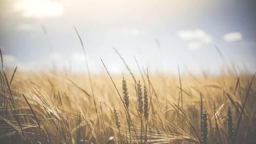 В Украине будет рекордный урожай зерновых, – прогноз министра