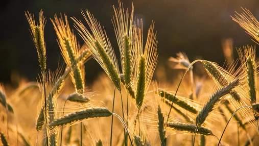 В Україні збирають врожай у прискореному режимі: причини