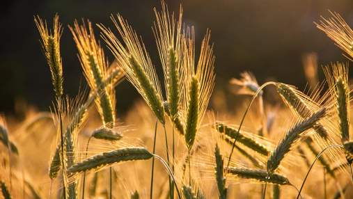 В Украине собирают урожай в ускоренном режиме: причины