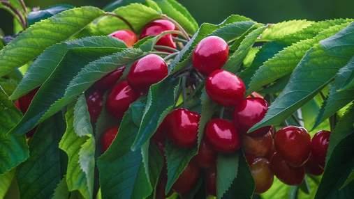 Черешні краще збирати вночі: несподівана порада знаних садівників