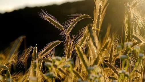 Новий рекорд: цього року урожай зерна буде високим
