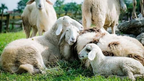 Офіційні працівники: в Ірландії влаштували на роботу стадо овець –у чому полягає їх робота