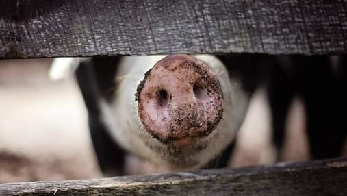 Африканская чума свиней и птичий грипп атакуют Европу