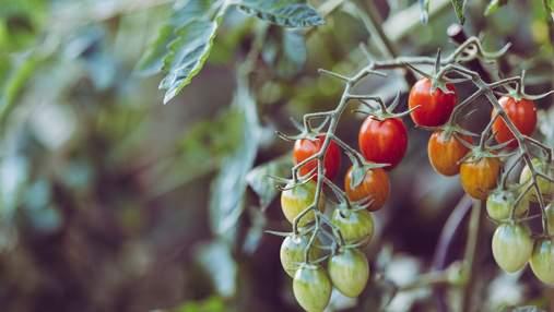 Ученые обнаружили, что помидоры могут предупреждать об опасности материнское растение