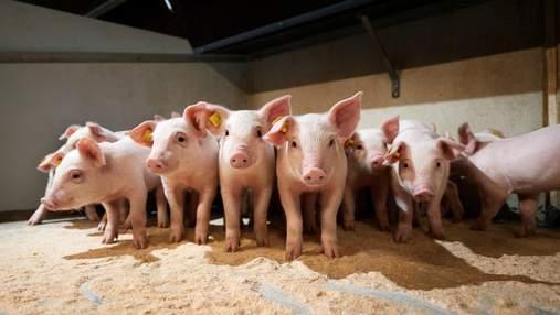 Україною шириться африканська чума свиней: зафіксували також під Харковом