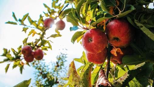 Українці не хочуть збирати яблука у Польщі: фермери вимушені продавати фрукти за безцінь