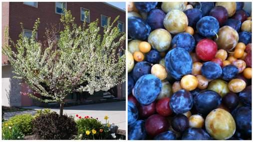 У США професор університету вирощує дерева, які дають 40 різних плодів