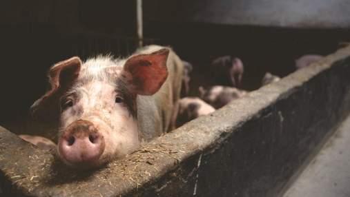 Последствие Brexit: в Великобритании уничтожат до 120 тысяч свиней из-за дефицита работников