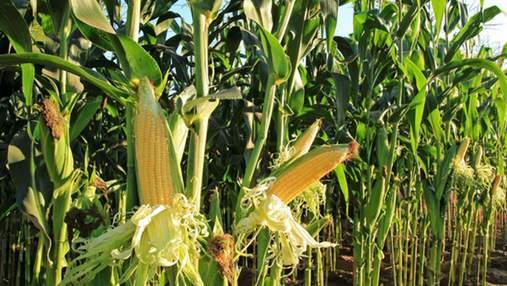 Без шансов: Украина опередила Россию по урожайности кукурузы