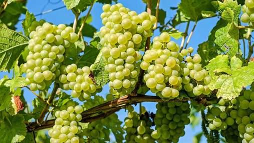 Радость для потребителей: в Украине обвалились цены на виноград