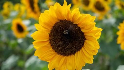 Ріст ціни соняшника: відома причина