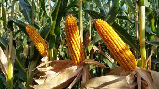 Загроза врожаю: заморозки можуть знищити пізню кукурудзу