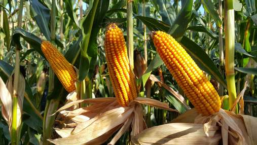 Угроза урожаю: заморозки могут уничтожить позднюю кукурузу