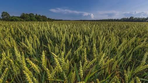 На схилах урожайність пшениці суттєво зменшується –дослідження